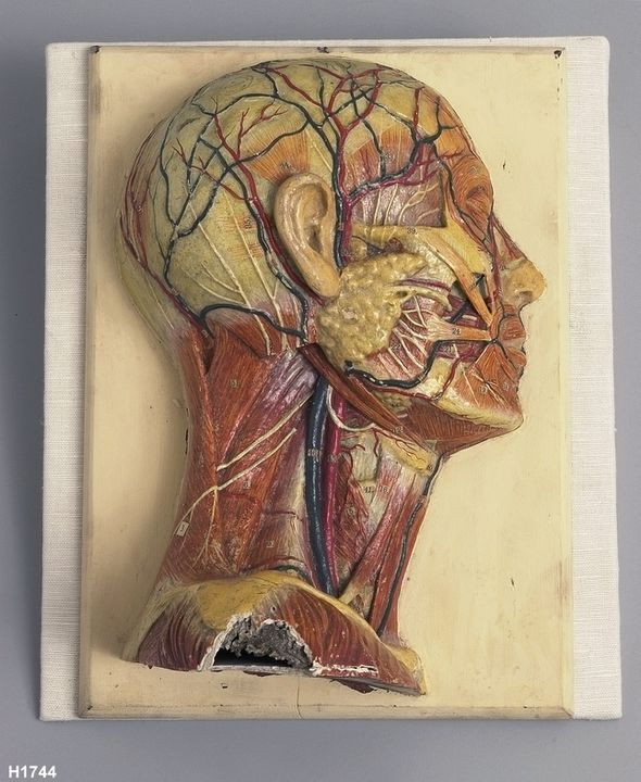 H1744 Anatomical model, human head (right side), wood / papier-mache / plaster / paint, made by F Ramme, Germany, 1850-1894. Click to enlarge.