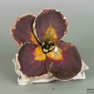 10079 Botanical model, Cheiranthus cheiri (Wallflower), papier mache/mixed media, Dr Auzoux, Paris, France, 1885