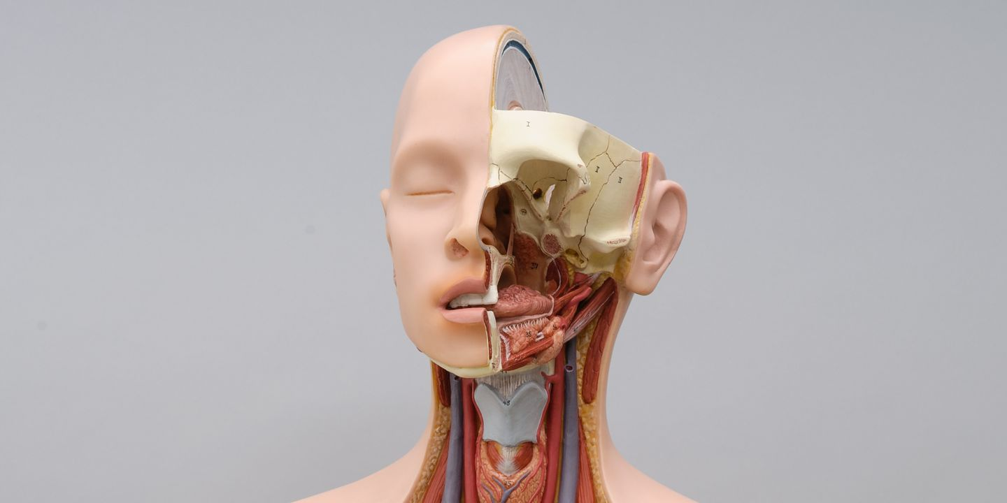 96/183/1 Anatomical model, human head and torso, plastic, made by Marcus Sommer, SOMSO-Werkstätten, Coburg, Bavaria, or Sonneberg, Thuringia, Germany, probably made 1970-1980, used by the Museum of Applied Arts and Sciences, Sydney, New South Wales, Australia, 1970s. Click to enlarge.