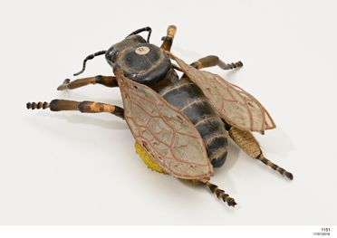1151 Insect model, worker bee bearing wax, papier mache / metal / hair, made by Dr Auzoux, Paris, France, 1883