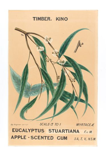 P1343 Botanical drawing, 'Eucalyptus stuartiana (Apple Scented Gum)', watercolour, paper / canvas, made by Agard Hagman, Sydney, New South Wales, Australia, 1888