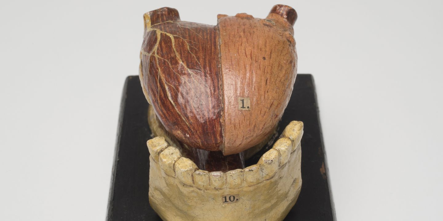 H1745 Anatomical model, human tongue, wood, maker and place of manufacture unknown, used by Sydney Technical College, Sydney, New South Wales, Australia, 1850-1894. Click to enlarge.