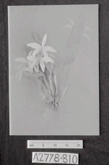 A2778-810 One leaf from D Dewsbury's 'Orchid' sketch book, gouache/watercolour