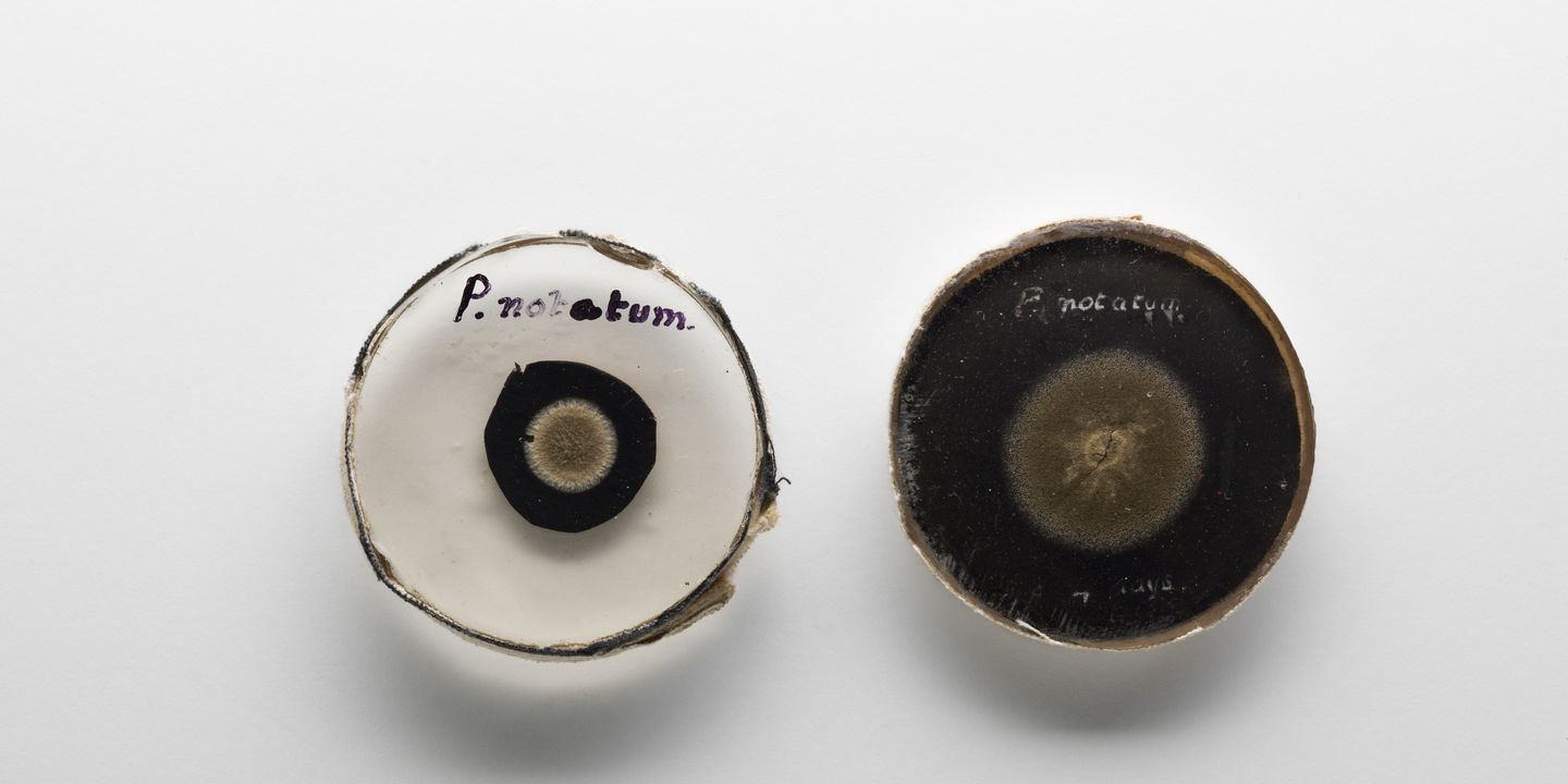 99/30/1 Preserved specimens of 'Penicillium notatum' (penicillin mould) (2), from the laboratories of Howard W. Florey, Oxford, England, 1944. Click to enlarge.