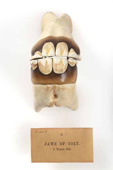 E3414-7 Cast and exhibition label, '8. Jaws of Colt', from set of horse teeth, plaster / paint / cardboard, maker unknown, Sydney, New South Wales, Australia, date unknown