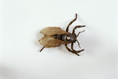 1150 Insect model, worker bee bearing wax, papier mache / metal / hair, made by Dr Auzoux, Paris, France, 1883
