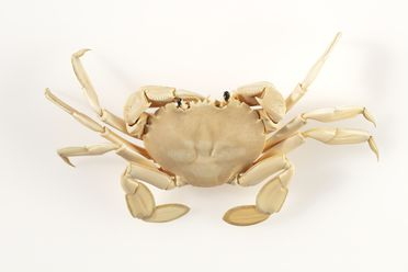 A4262-22 Carved crab figure, ivory, metal, maker unknown, Japan, 1850–1950