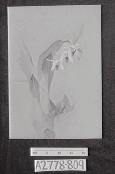 A2778-809 One leaf from D Dewsbury's 'Orchid' sketch book, gouache/watercolour