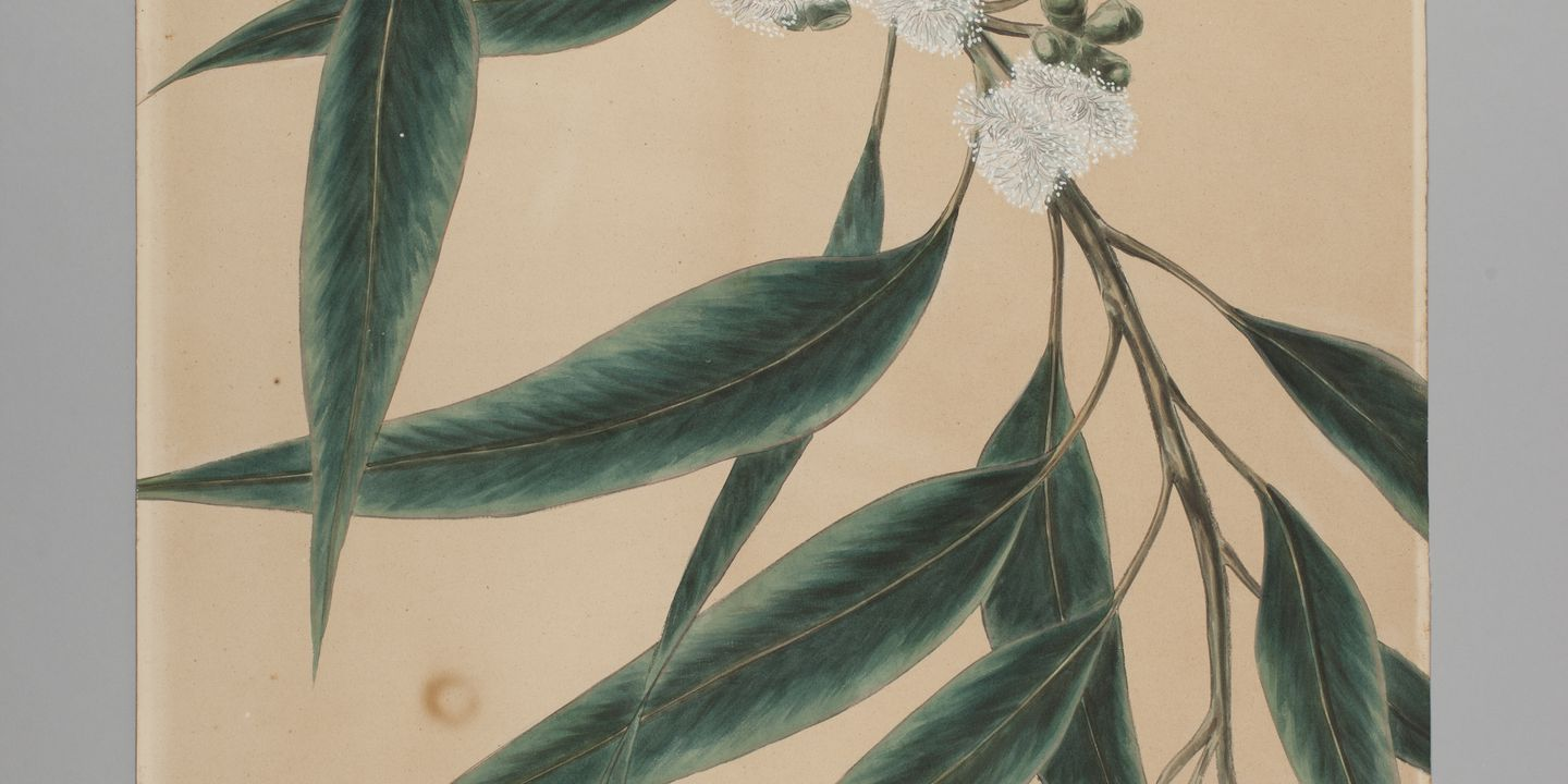 P1349 Botanical drawing, 'Eucalyptus saligna (Blue Gum)', watercolour, paper / canvas, made by Agard Hagman, Sydney, New South Wales, Australia, 1887. Click to enlarge.