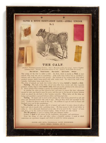 P406 Object lesson card, part of collection, 'The Calf', framed, calfskin / leather / gelatine / cardboard / glass / wood / textile, published by Oliver and Boyd, Edinburgh, Scotland, 1880-1884