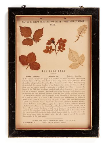P437 Object lesson card, part of collection, 'The Rose Tree', framed, leaves / cardboard / glass / wood / plastic / textile, published by Oliver and Boyd, Edinburgh, Scotland, 1880-1884