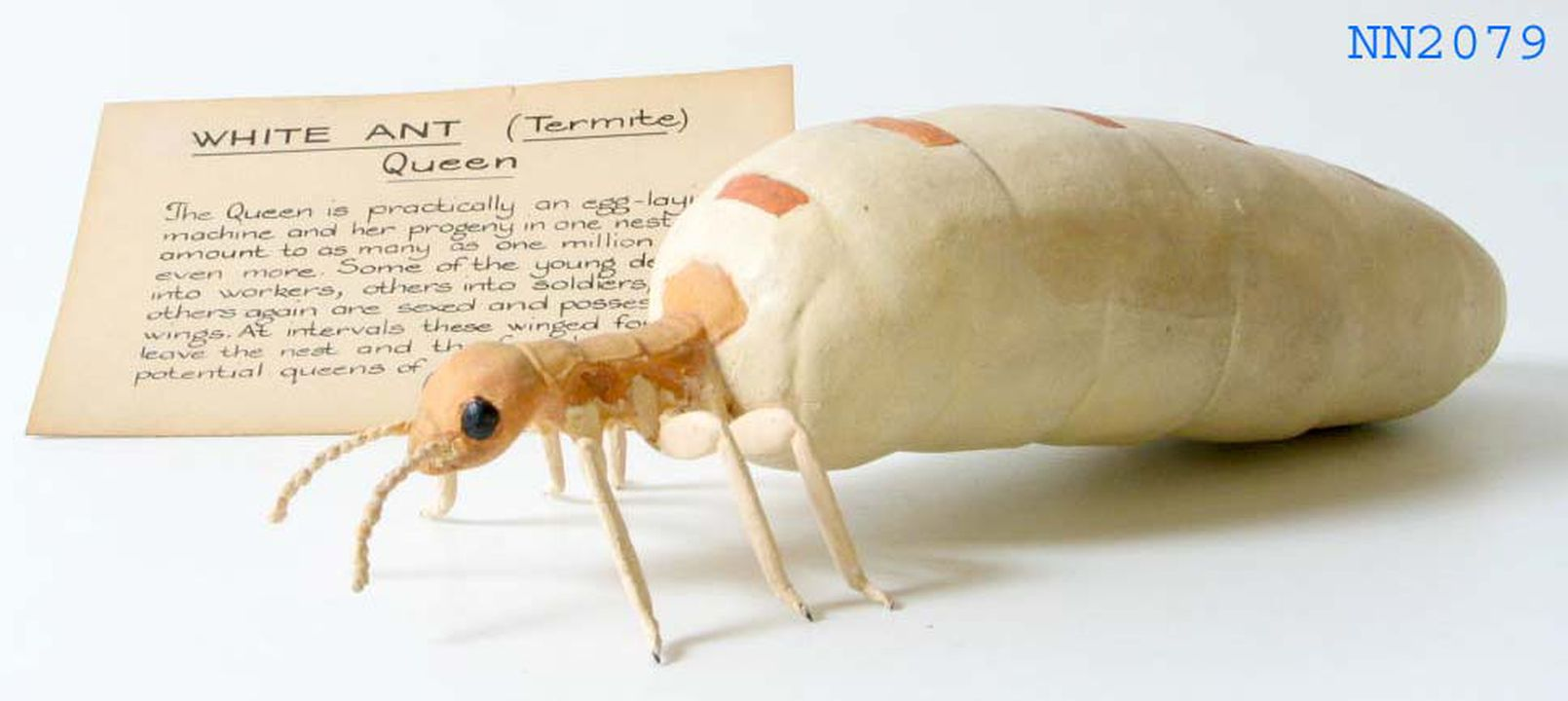 White Ant Queen Termite Insect Model With Label Wire Plaster Paint Maker Unknown Date Unknown Maas Collection