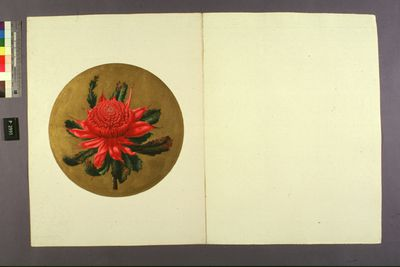 P2993 Design, 'Blue Mountains waratah (Waratah-study from nature)', from unpublished book, 'Australian Decorative Arts', watercolour and gouache over pencil, made by Lucien Henry, Australia / France, 1889-1891